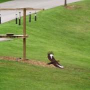 Paleated Woodpecker in flight