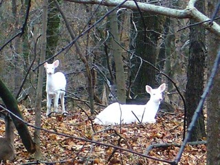 Deer at Grand Vue Park